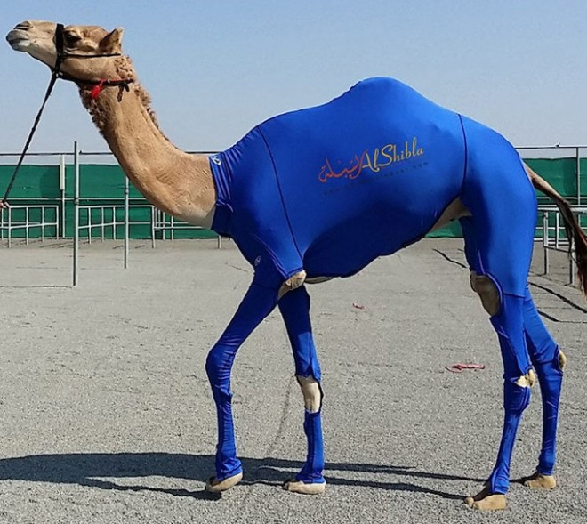 Compression-Suits-for-Camels