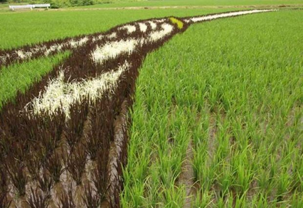Painting on rice field (4)